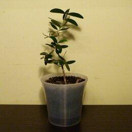 Комнатные растения - Оливковое дерево, Олива, 0