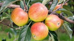 Рассада, саженцы, кустарники, деревья - Взрослые яблони по выгодной цене, 0