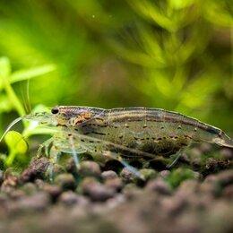 Аквариумные рыбки - Креветка вишня Серая, 0