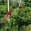 Пион Генри Бокстос по цене 1300₽ - Рассада, саженцы, кустарники, деревья, фото 6