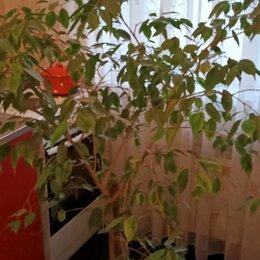 Комнатные растения - Фикус бенджамина крупномер, 0