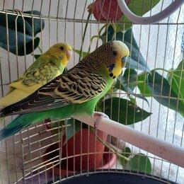 Птицы - Волнистые попугаи-получехи, парочка, 0