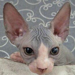 Кошки - Канадский сфинкс котенок мальчик, 0