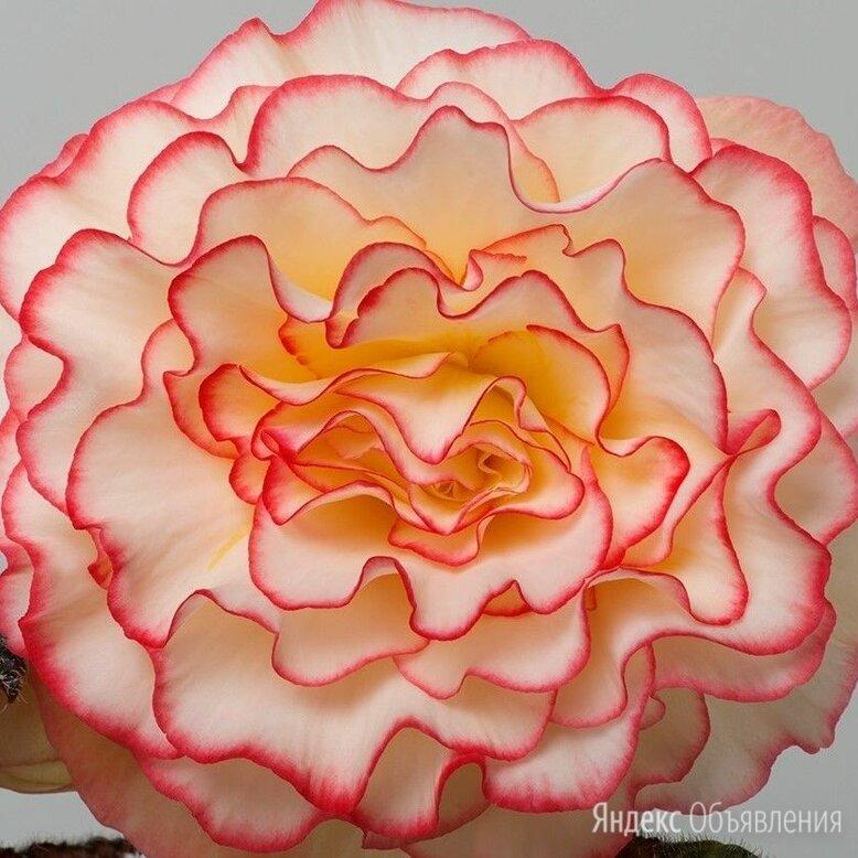 Махровые крупноцветковые бегонии по цене 20₽ - Комнатные растения, фото 0