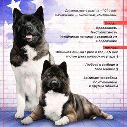 Собаки - Американская акита чемпион, 0