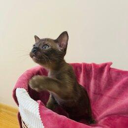 Кошки - Бурманская кошка , 0