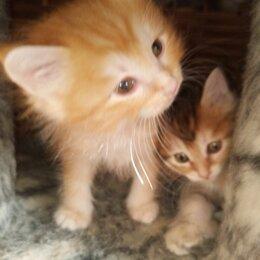 Кошки - Новый помёт. Куриллы. Золотые, 0