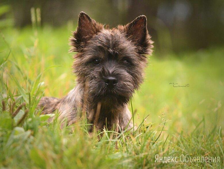 щенки керн терьера по цене 50000₽ - Собаки, фото 0
