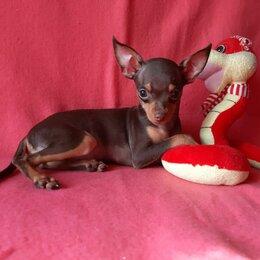 Собаки - Русский той шоколадный короткошерстная, 0