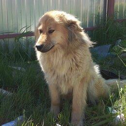 Собаки - Кавказская овчарка метис, 0