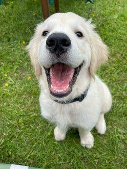 Собаки - Щенки золотистого ретривера, 0