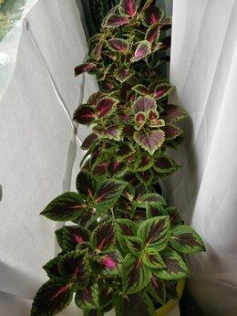 Комнатные растения - Колеус, Тещин Язык(домашнее растение) , 0