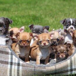 Собаки - Щенки чихуахуа, мини и стандарт. Из Проф. Питомника, 0