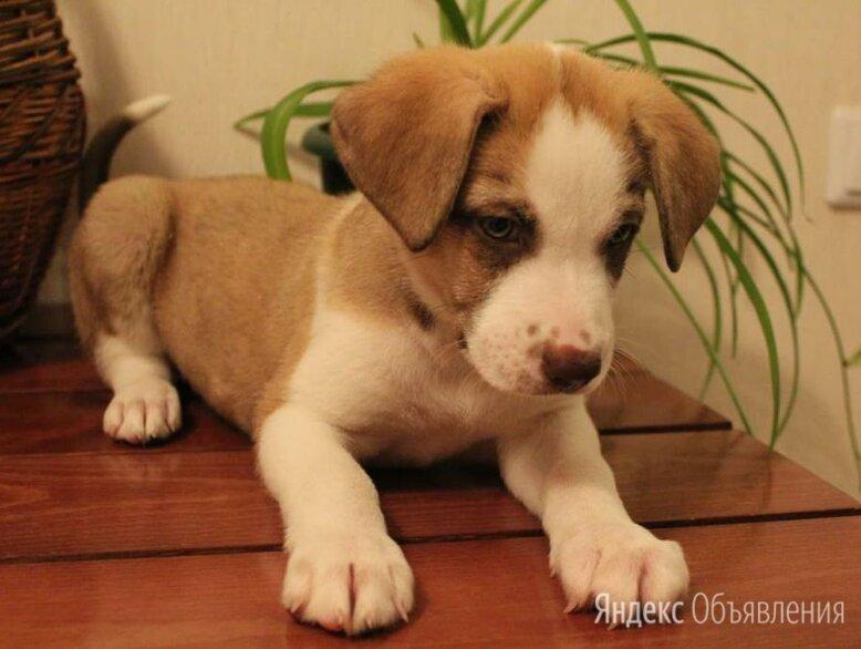 Щенки, щенят Истра по цене даром - Собаки, фото 0