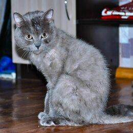 Кошки -   В добрые руки  отдам чистокровного британца , 0