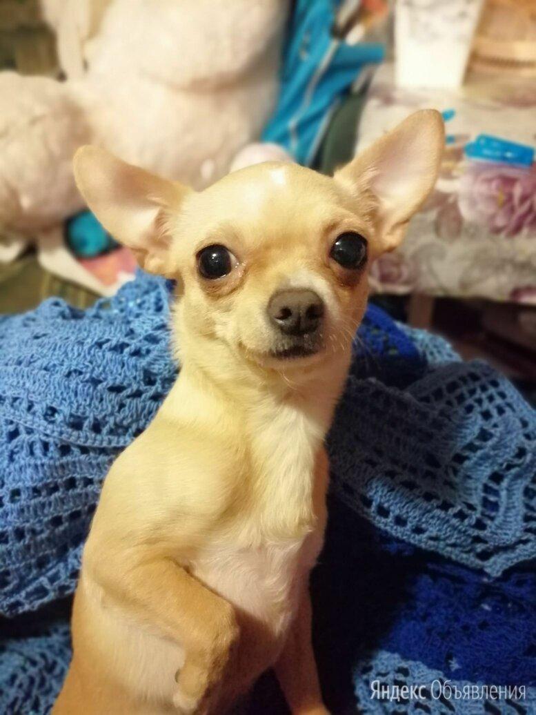 Чихуахуа ,МОТЯ,окрас палевый по цене 5000₽ - Собаки, фото 0