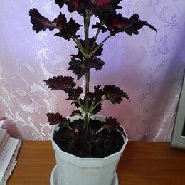 Комнатные растения - Колеус шоколадный дракончик, 0