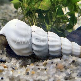 Аквариумные рыбки - Улитки для аквариума  большой выбор, 0