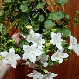 Комнатные растения - Цветок  Кампанула (Невеста) , 0