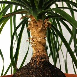 Комнатные растения - Бокарнея, 0