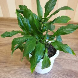 Комнатные растения - Спатифиллум широколистный, 0