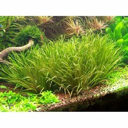 Растения для аквариумов и террариумов - ✅Бликса японская (Blyxa japonica), 0