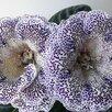 Глоксинии (излишки коллекции) по цене 30₽ - Комнатные растения, фото 13