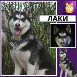 Собаки - Хаски Лаки ищет дом. Отдаём Бесплатно!, 0