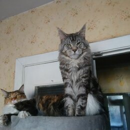 Кошки - Домашняя Мейн-кунша ищет новый дом 🏡 , 0