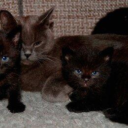 Кошки - Очаровательные британские малыши))), 0