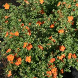"""Комнатные растения - Лапчатка кустарниковая """"Red Ace"""" (Ред Айс)…, 0"""