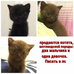 Кошки - котята шотландские (почти 2 месяца им), 0