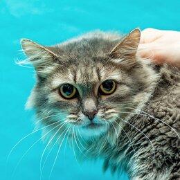 Кошки - Сибирская кошка Шунечка в добрые руки!, 0