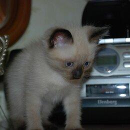 """Кошки - котята породы """"Балинез"""", 0"""