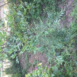 Рассада, саженцы, кустарники, деревья - Зизифус саженцы , 0