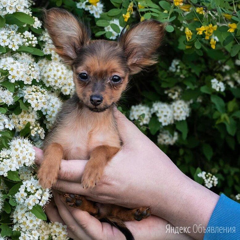 РУССКИЙ ТОЙ ДЛИННОШЕРСТНЫЙ  по цене 50₽ - Собаки, фото 0