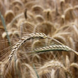 Семена - Продам семена озимая рожь - сорт МОСКОВСКАЯ 15, 0