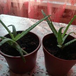 Комнатные растения - Алоэ маленький отросток, 0