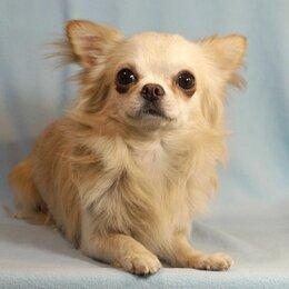 Собаки - Молодой кобель чихуахуа кремового окраса, 0