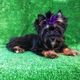 Собаки - Йоркширский терьер чёрный с подпалом эксклюзив, 0