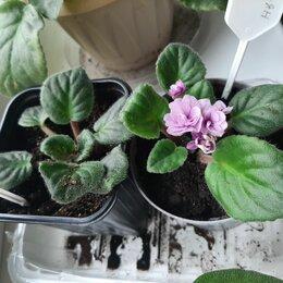 Комнатные растения - Фиалка Поль Баньян , 0