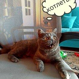 Кошки - Британская кошка в дар , 0