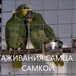 Птицы - Пара попугаев венесуэльские амазоны., 0