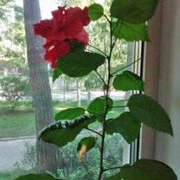 Комнатные растения - Гибискус, Китайский розан махровый отростки (черенки), 0