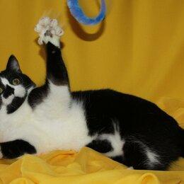 Кошки - Шотландская кошка биколор, 0