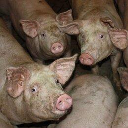 Сельскохозяйственные животные и птицы - Свиньи живым весом, 0