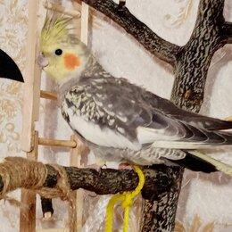 Птицы - Попугай корелла , 0