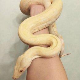 Рептилии - Змея самка морфы Albinokahl, 0