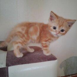 Кошки - Котёнок рыжий красный мрамор, 0