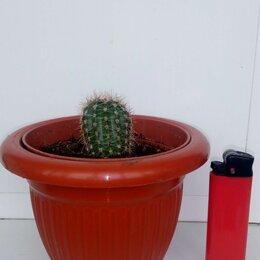 Комнатные растения - Кактусы , 0